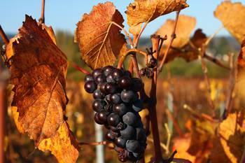 Randonnée en Automne dans les vignes de la Côte Chalonnaise